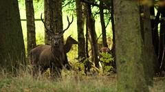 Wood Dwellers (andy_AHG) Tags: animals rural walking outdoors unitedkingdom wildlife fallowdeer reddeer pennines rambling barnsley southyorkshire britishcountryside northernengland wentworthcastle ruttingseason