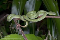 Trimeresurus hageni_MG_4393 copy (Kurt (OrionHerpAdventure.com)) Tags: male reptile snake reptiles reptilia reptilian pitviper tropicalreptiles hagenspitviper trimeresurushageni