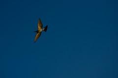 Rainbow Bee-eater (Guille Barbat) Tags: birds australia darwin northernterritory mindilbeach rainbowbeeeater meropidae meropsornatus guillebarbat