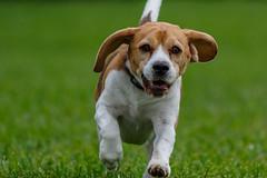 Brody-0573 (Don Burkett) Tags: usa dog beagle animal canon puppy photo unitedstates hound canine photograph dslr brody donburkett canon7dmkii 100400mii ef100400f4556liiusm dtburkett