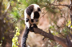 LEMUR-PARK-47 (RAFFI YOUREDJIAN PHOTOGRAPHY) Tags: park city travel trees plants baby white cute green animal fauna canon river jumping sweet turtle wildlife bricks mother adorable adventure explore lemur 5d lemurs bushes madagascar 70200 antananarivo mkiii