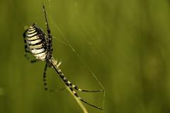 Nikki (Antonio Supertramp) Tags: en spider murcia araña antonio habitat aracnido insecto supertramp insectoenhabitat