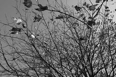 DSCF1402 (Jnipco) Tags: fall leaves