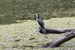 Pied Cormorant (Geoffsnaps) Tags: lake bird water ed nikon head australian feathers panoramic cormorant carbon nikkor fx pied gitzo vr afs monopod acratech piedcormorant phalacrocoraxvarius piedshag 200500mm d810 nikond810 gm5541 monopodhead australianpiedcormorant f56e gitzogm5541carbonmonopod acratechpanoramichead nikonnikkor200500mmf56eedvrafs