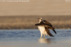 Osprey!! (Anupam Dash Photography) Tags: camera wild canada color bird nature water colors beauty birds clouds canon adult wildlife north birding northamerica birdsinflight birdwatching osprey avian anupam birdsofprey wildlifephotographer naturephotography northamericanbirds naturesfinest colourartaward naturecanada canon500mmf4 canon1dmarkiv birdsofontario anupamdash anupamdashphotography