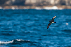 Fluttering Shearwater, Sydney-2411 (Henry.Cook) Tags: sydney shearwater seabird fluttering pelagic puffinus puffinusgavia