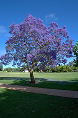 QLD STATE ROSE GARDEN,  JACARANDAS (16th man) Tags: canon eos australia qld queensland jacaranda toowoomba jacarandatree newtownpark illawarraflametree eos5dmkiii qldstaterosegarden fflametree