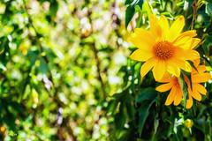 Sunny day in Đà Lạt (Black Baron93) Tags: lighting flowers light sun sunlight flower green nature beautiful yellow canon natural naturallight sunny blurred vietnam sunnyday canon5018 việtnam blurredbackground tithoniadiversifolia beautyofnature lensfix đàlạt canon600d canonkissx5