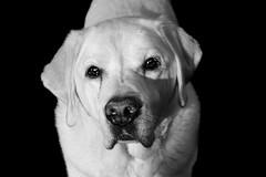 Janosch (Jasmin No) Tags: dog dogs senior goldenretriever eyes friend lab labrador brother retriever hund labradorretriever augen bestfriend oldie blick yellowlabrador janosch mucki whitelab schnuffel labbi retrieger