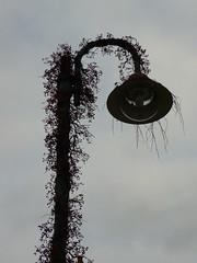 Bepflanzte Straenlaterne (Jrg Paul Kaspari) Tags: parthenocissus wilderwein neumagen strasenlaterne bepflanzte