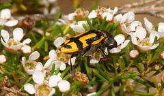 Another Jewel beetle feeding (ron_n_beths pics) Tags: westernaustralia buprestidae jewelbeetles perthurbanbushland