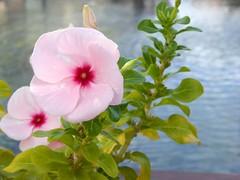 ho fermato il vento (fotomie2009) Tags: vinca periwinkle pervinca flower fiore flora pink