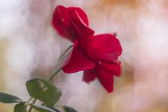 Rose (novofotoo) Tags: herbst natur rot alt autumn nature old red meyergrlitzoreston50mmf18