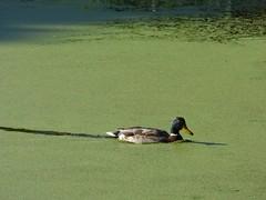 Mallard (Puerto De Liverpool.) Tags: mallard ducks birds britishbirds algae liverpool pond swimming drake croxtethcountrypark merseyside nature wildlife
