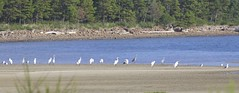 Mostly Great Egrets (AtmosFear Video) Tags: greategrets bayocean
