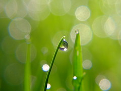 Morning garden.. (jo.pinkroses) Tags: bokeh grass raindrops macro garden morning outdoor xs1 fuji