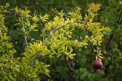 """Good Fences Make Good Neighbors"" (Week 17/52) (milmonfharrison) Tags: 50mmf18 50mmlens depthoffield bokeh red green pomegranate fruit tree fruittree backyard daylight leaves seasons"
