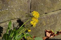 Mauerblmchen (Sockenhummel) Tags: lwenzahn fuji x30 fujifilm finepix fujix30 spandau kladow natur nature berlin havel
