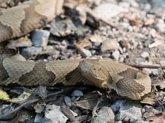 Copperhead Snake (Richard Berling) Tags: copperhead snake snakeroad