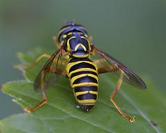 Male Spilomyia Syrphid Fly (milesizz) Tags: spilomyialongicornis diptera milwaukee wisconsin wi aschiza syrphidae syrphidflies eristalinae milesiini