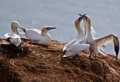 Gannets / Basstlpel (heiko.moser (+ 10.000.000 views )) Tags: gannets basstlpel vogel vgel bird helgoland animal animale fauna farbig natur nature natura outdoor canon heikomoser