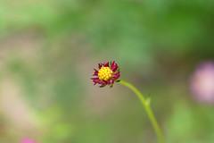 Little cosmos (Just_hobby) Tags: cosmoscaudatus flower bud sel50f18 sonya6000 extensiontube dof bokeh