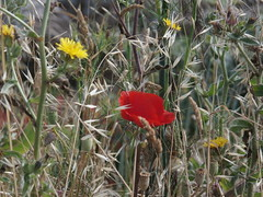 P7040409 (jesust793) Tags: flower amapola