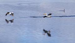 The Cormorant Couldn't Care Less (smfmi) Tags: whitingoverlookpark pelicans cormorant waterfowl birds birdsinflight pelicansinflight americanwhitepelican americanwhitepelicans frohm pentax ks2 pentaxks2 justpentax pentaxlife