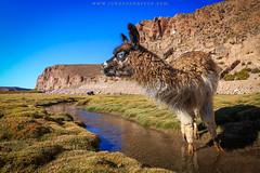Lhama (Johnson Barros) Tags: ferias travel trip vacations viagem departamentodepotos bolivia bo lhama animal oasis