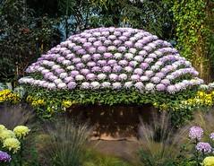 Kiku NYBG 2016 (vern Ri) Tags: chrysanthemums ozukuri kiku nybg nikon fall flowers flora fleur blumen blooms