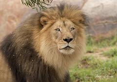M'bari (ToddLahman) Tags: mbari lion lions lioncamp sandiegozoosafaripark safaripark canon7dmkii canon canon100400