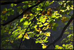 Autumn light (WibbleFishBanana) Tags: autumn herbst leaves backlight beech