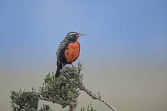 Long-tailed Meadowlark (Peter Stahl Photography) Tags: longtailedmeadowlark meadowlark red argentina patagonia bird outdoors southamerica