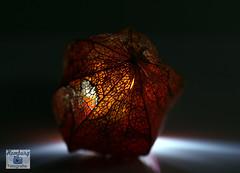 Lampionblume (Physalis alkekengi) (3) (Enjoy my pixel.... :-)) Tags: nacht lampion blume licht gegenlicht