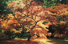 Golden Light (Martyn.Smith.) Tags: trees leaves autumn fall color glow sunlight branches arboretum forest maple acer golden sun tree england uk canon eos 700d flickr image photo sigma lens