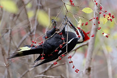 Pileated Woodpecker by Steve Gifford (Steve Gifford - IN) Tags: pileated woodpecker eating feeding honeysuckle berries hueston woods state park butler preble county oh ohio steve steven gifford nature wildlife bird picture photo photograph audubon