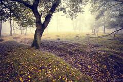 autumn time (Frednik) Tags: herbstzeit nikon neblig fog 1835mmf3545 laub frednik birken bume maasduinen niederlande netherlands limburg fx