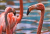 Dreaming Pink (zarb67) Tags: toledozoo pinkflamingo tropical tropicalbird pink canon 1dxmarkll ef100400mmf4556lisii topazadjust topazsoftware