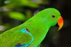 Eclectus (Howard Ferrier) Tags: seq green oceania australia australiazoo sunshinecoast vertebrate eclectusparrot beerwah chordate zoo bird parrot queensland eclectusroratus psittacidae