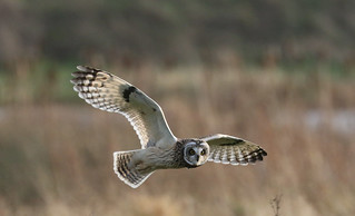 Short Eared Owl    In Explore 05-12-2016