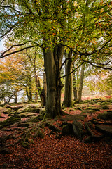 On the red carpet (Dave Fieldhouse Photography) Tags: autumn trees roots padley padleygorge morning fuji fujixt2 leaves fall red derbyshire derbyshirelife peakdistrict peaks nationalpark nature portrait fauna colour
