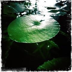 Cup Day Pond (Rantz) Tags: rantz mobilography 365 roger doesanyonereadtagsanymore mobilographypad2016 psad2016 darwin northernterritory pondering thepond pondaliciousness kodotxgrizzledfilm hipstamatic green pond johnslens