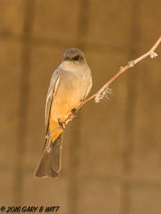 Say's Phoebe (orencobirder) Tags: smallbirds flycatchers birds flickrexport