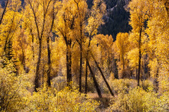 Cottonwoods 1 (PhotoBobil) Tags: colorado fall cottonwoods grandlake