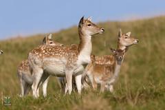 Dyrham Park (NT) 20161103-0846 (Rob Swain Photography) Tags: deer dyrham england unitedkingdom gb