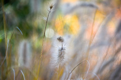yesterday :-) (Dotsy McCurly) Tags: yesterday local park nature beautiful grasses autumn colors soft bokeh dof nikon d750 nj ethereal