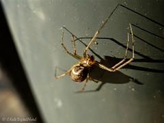 shadow.spider II (C.Kalk DigitaLPhotoS) Tags: spinne spider animal tier 8legs schatten shadow closeup makro macro arachnida araneae fauna outdoor kalk ckalk christopherkalk ckalkdigital