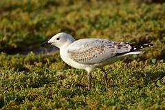 Year old Silver Gull (Luke6876) Tags: silvergull gull australianwildlife