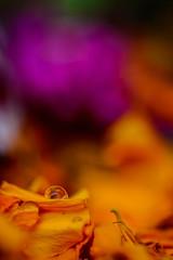 ECS_0396 (Deepak Kaw) Tags: drop droplet digital bokeh beautiful macro nikon nature tamron flower color composition contrast art