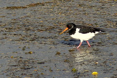 Oyster Catcher (Hythe Eye) Tags: hythe hampshire southamptonwater winter oystercatcher